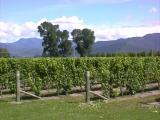 Vines at Cloudy Bay